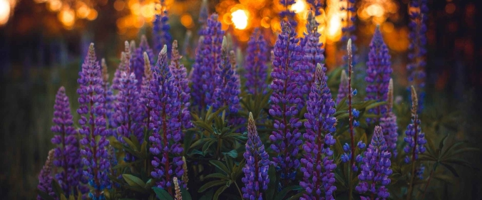 Grape hyacinths, blooming at dusk.