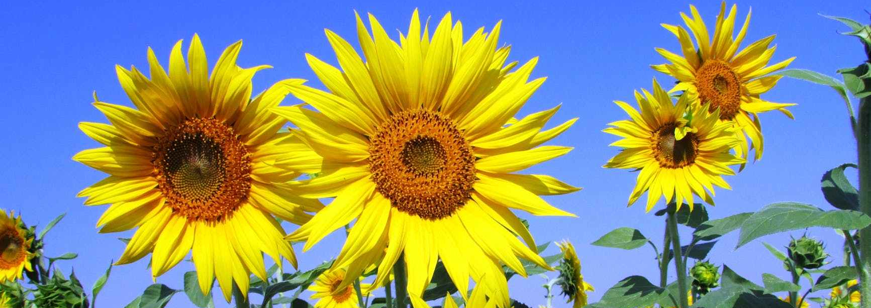 Sunflowers in full bloom against a bright, clear blue sky.